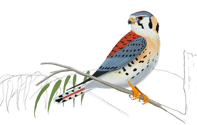 Being a Good American Kestrel Dad Comes at a Cost