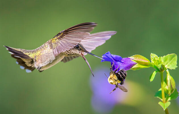 To Understand How Hummingbirds Feed, Think of Them As 'Feathered Bees'