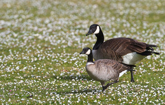 Learn to Tell a Cackling Goose From a Canada Goose