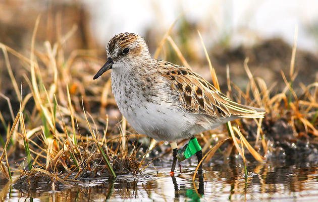 Unraveling the Mysteries of Migrating Semipalmated Sandpipers