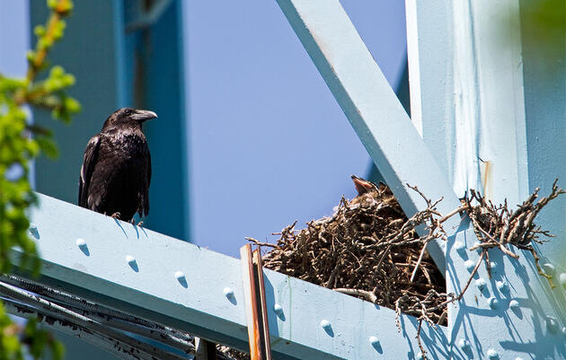 Ravens Are Making a Comeback In Cities