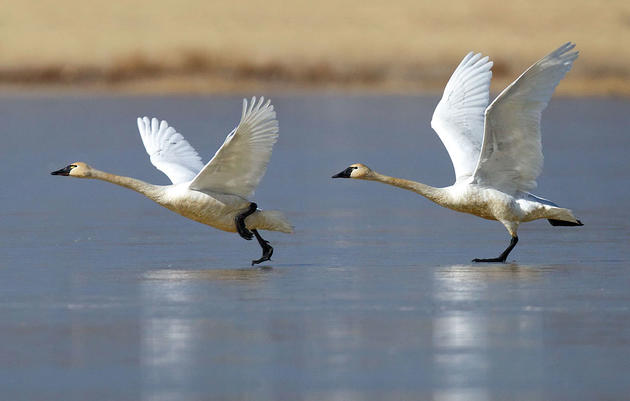 Birds to Congress: Protect the Heart of the Arctic Refuge