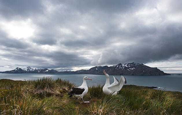 Albatross Populations Suffer a Double Whammy of Human Activity