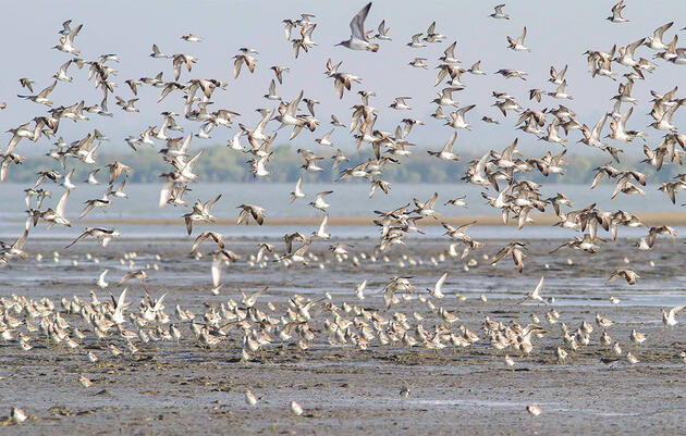 How a Small Army of Scientists Hopes to Save the World's Rarest Sandpiper