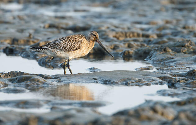 The Bar-tailed Godwit's Annual Migration Is Utterly Astounding