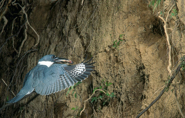 Belted Kingfishers Nest in Burrows Up to 15 Feet Long