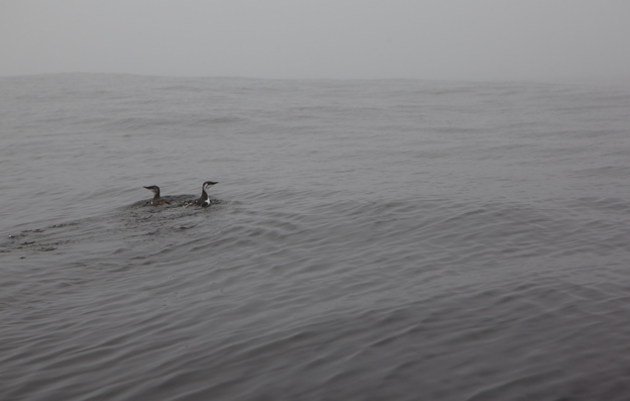 Common murres swim off the Northern California coast, ever ready to dive tens to hundreds of feet deep for a meal of sardines or krill. Numerous seabird species will benefit from the creation of new marine reserves. Photography by Ewan Burns