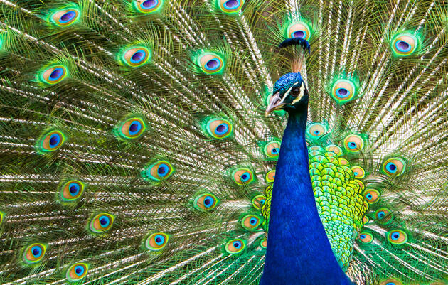 The Peacock's 'Tuneful' Tail Feathers