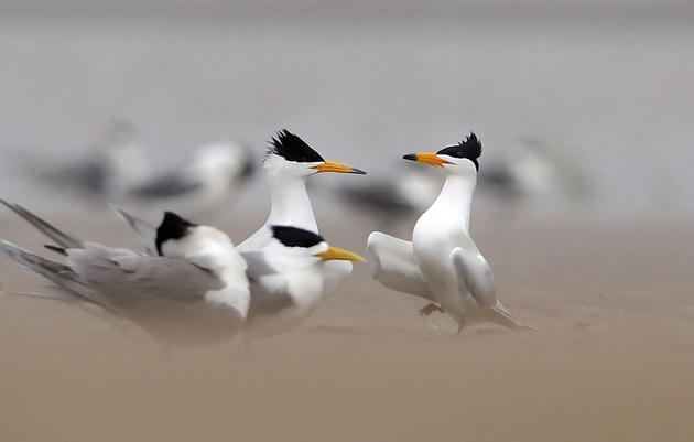 How Plastic Birds Are Bringing Crested Terns Back From the Brink