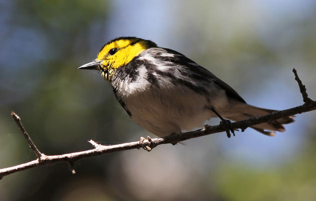 Why the Golden-cheeked Warbler Must Stay Listed