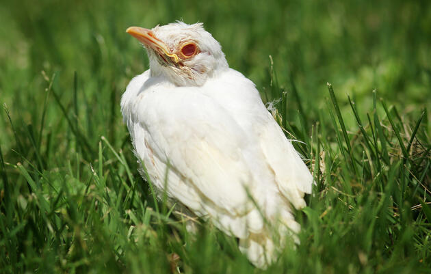 How to Tell If a Bird Is Albino