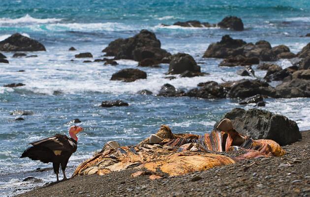 The Surprising Way Marine Mammals Are Poisoning California Condors