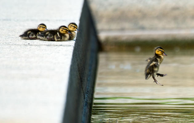 The Chance Heroism of the Tampa Bay Duckling Savior