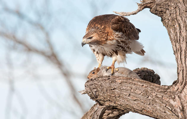 Why Red-Tailed Hawks Are Not Picky Eaters