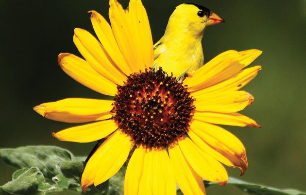 American Goldfinch. Sally Stone/Audubon Photography Awards