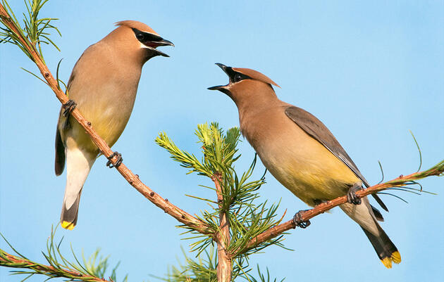 Cedar Waxwings. Patrick Dennen/Audubon Photography Awards