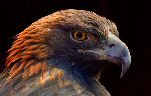 How Golden Eagles Spot Prey from Incredible Distances