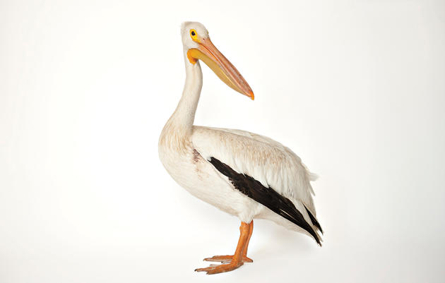 White Pelican. Joel Sartore