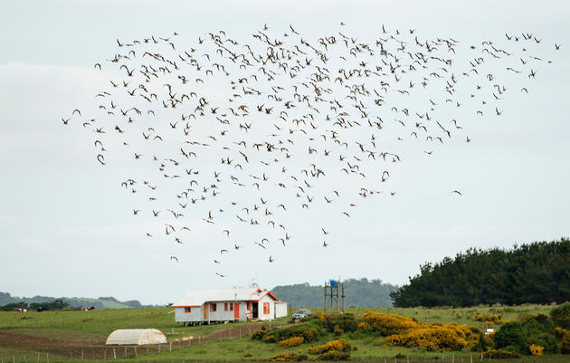 A flock of migrating Hudsonian Godwits descends on Chiloé's shore, completing a monthslong, 10,000-mile journey from the birds' breeding grounds in Alaska. Chris Linder/iLCP