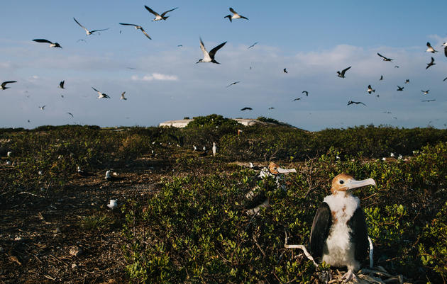Young frigatebirds sit in the foreground, not yet ready to take to the skies. Tristan Spinski