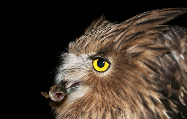 How Loggers Can Help Save the Endangered Fish Owl