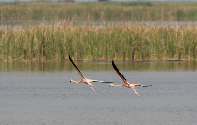 Wild Flamingos Return to Florida