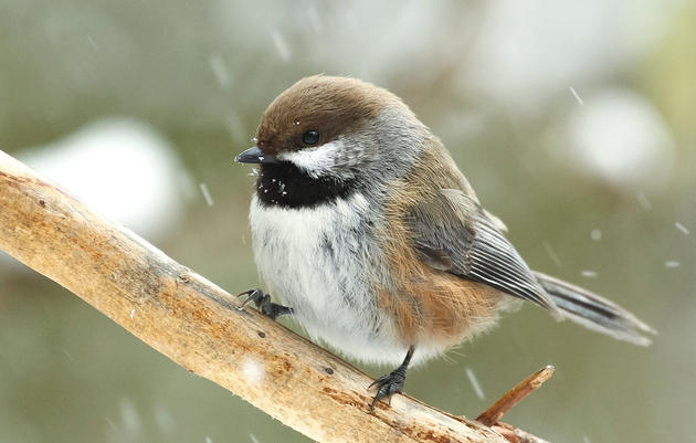 How Does the Boreal Chickadee Survive Arctic Winters?