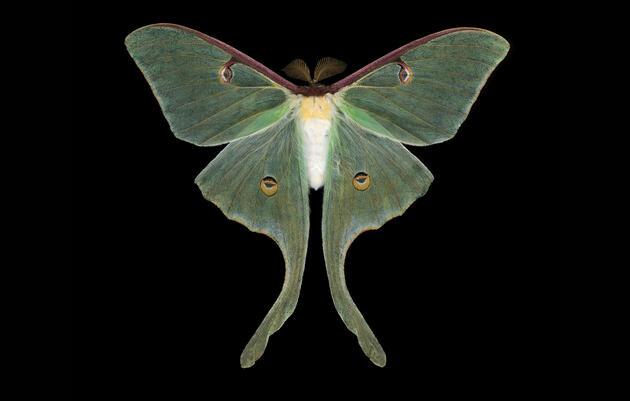 Eerie Luna Moth. Rainey Gregg