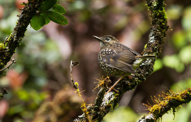 How to Protect Hawaii's Rarest Birds From Avian Malaria