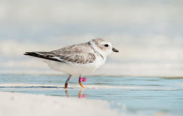 Tracking Piping Plovers