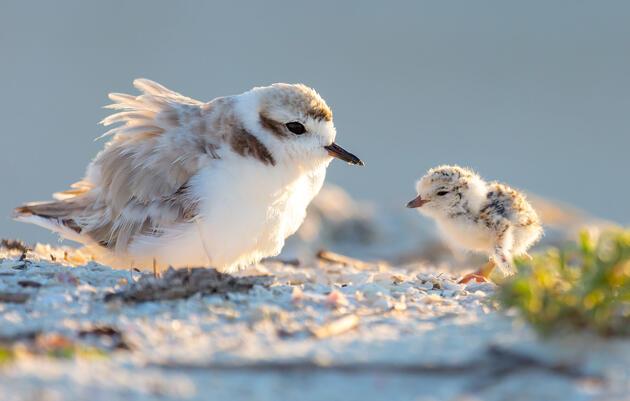 Florida's Shorebirds Saw a Big Breeding Bump After Hurricane Michael