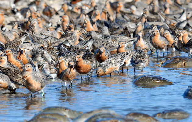 How the Race for a COVID-19 Vaccine Jeopardizes East Coast Shorebirds
