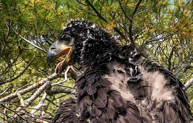 This Bald Eagle Chick Is the First Hatched on Cape Cod in 115 Years