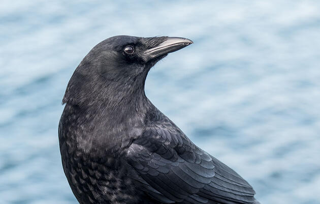 Why the Northwestern Crow Vanished Overnight