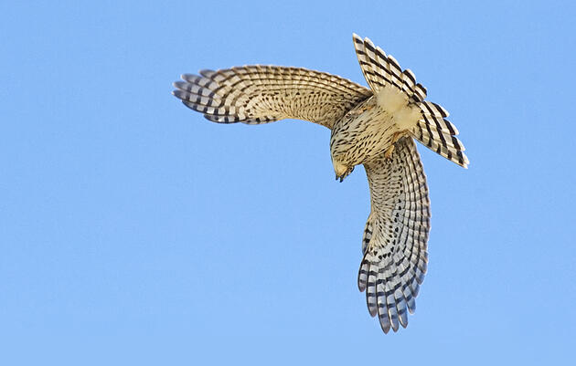 Cooper's hawk. Johann Schumacher