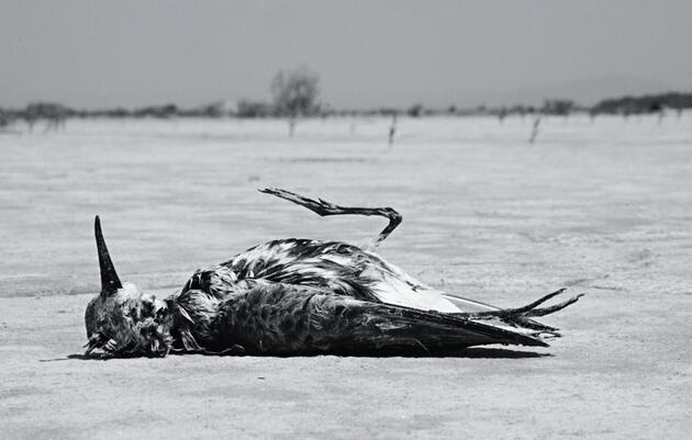 Stemming the Tide of Shorebird Losses