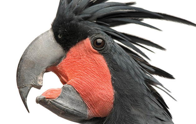 In New Guinea and northern Australia, the palm cockatoo, a huge black parrot, uses its massive beak to pry open or crack even the toughest nuts and seeds. Joel Sartore