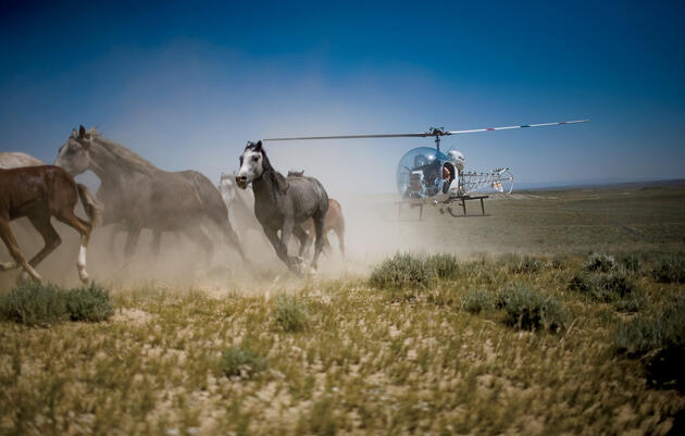 """A """"gather"""" at a Bureau of Land Management site in Wyoming. In some areas, there are at least three times as many horses as the habitat can support. Matt Slaby"""