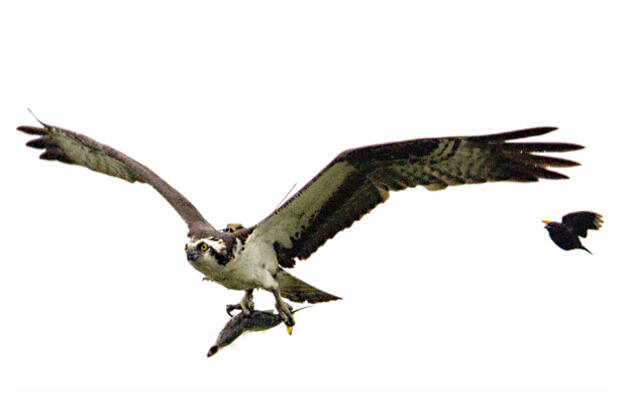 An Osprey's Amazing Migration From Colombia to Jamaica Bay