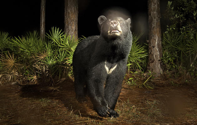 A male black bear—his breath creating a vapor cloud in the cool night air—is caught by a motion-sensitive camera in Highlands County, Florida. Carlton Ward Jr.