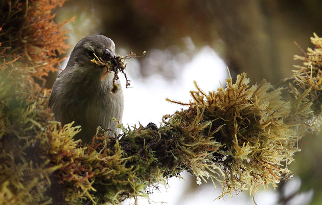 Clever Galapagos Finches Use Cotton to Thwart Bugs