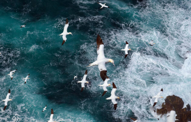 Cliff top view as gannets hang in Force 8 gales above raging seas. September. Shetland Islands, Scotland, UK Photograph by Andrew Parkinson