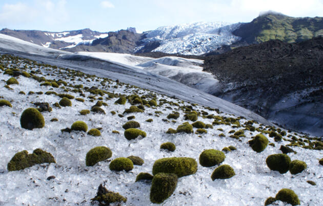 Curious 'Mice' Thrive on Glaciers