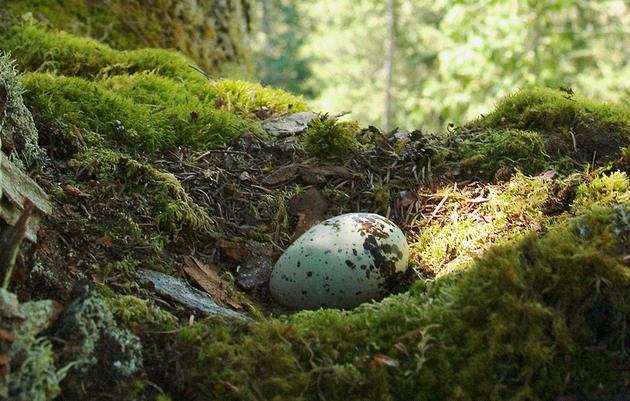 Fake Marbled Murrelet Eggs Cause Jays to Vomit