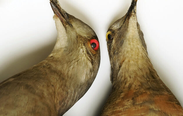Why the Passenger Pigeon Went Extinct
