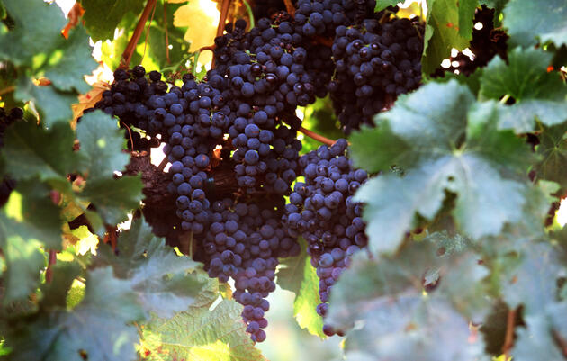 Some say that organically grown wine grapes are also tastier in the bottle, which is something certainly worthy of a toast. Sara Remington