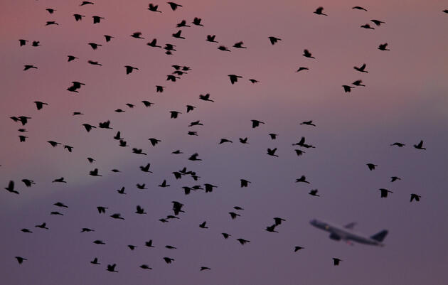 Tall Grasses Might Be Key to Cutting Birdstrikes