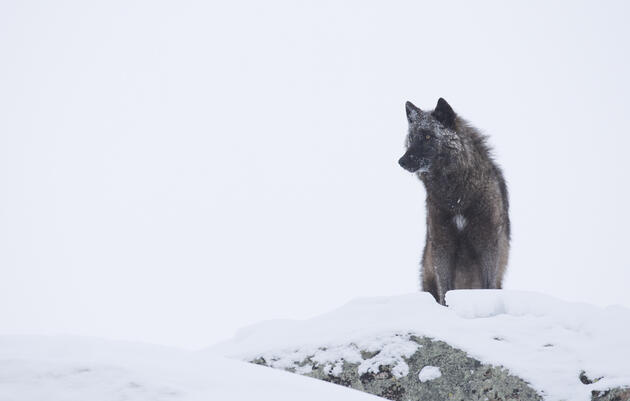 When wolves were reintroduced to Yellowstone in 1995, it was assumed that most visitors would never see one. In fact, hundreds of thousands of people have watched the predators, which keep a high profile in winter. Photograph by Donald M Jones