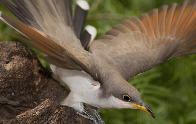 Yellow-billed Cuckoos, Red Knots Proposed for Endangered Listing