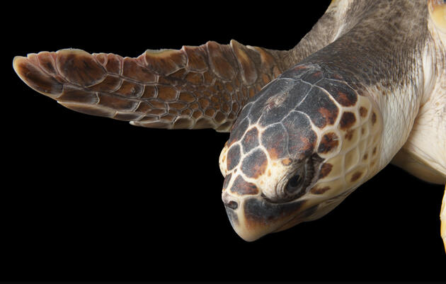 Longline Fishing's Unintended Victims: Turtles
